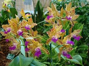 storczyk Cattleya